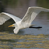 Great Egret flying above the lake.