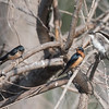Adult Barn Swallow perching with Barn Swallow and a Tree Swallow Chick