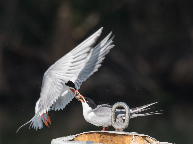 Forster's Tern feeding a grown Chick