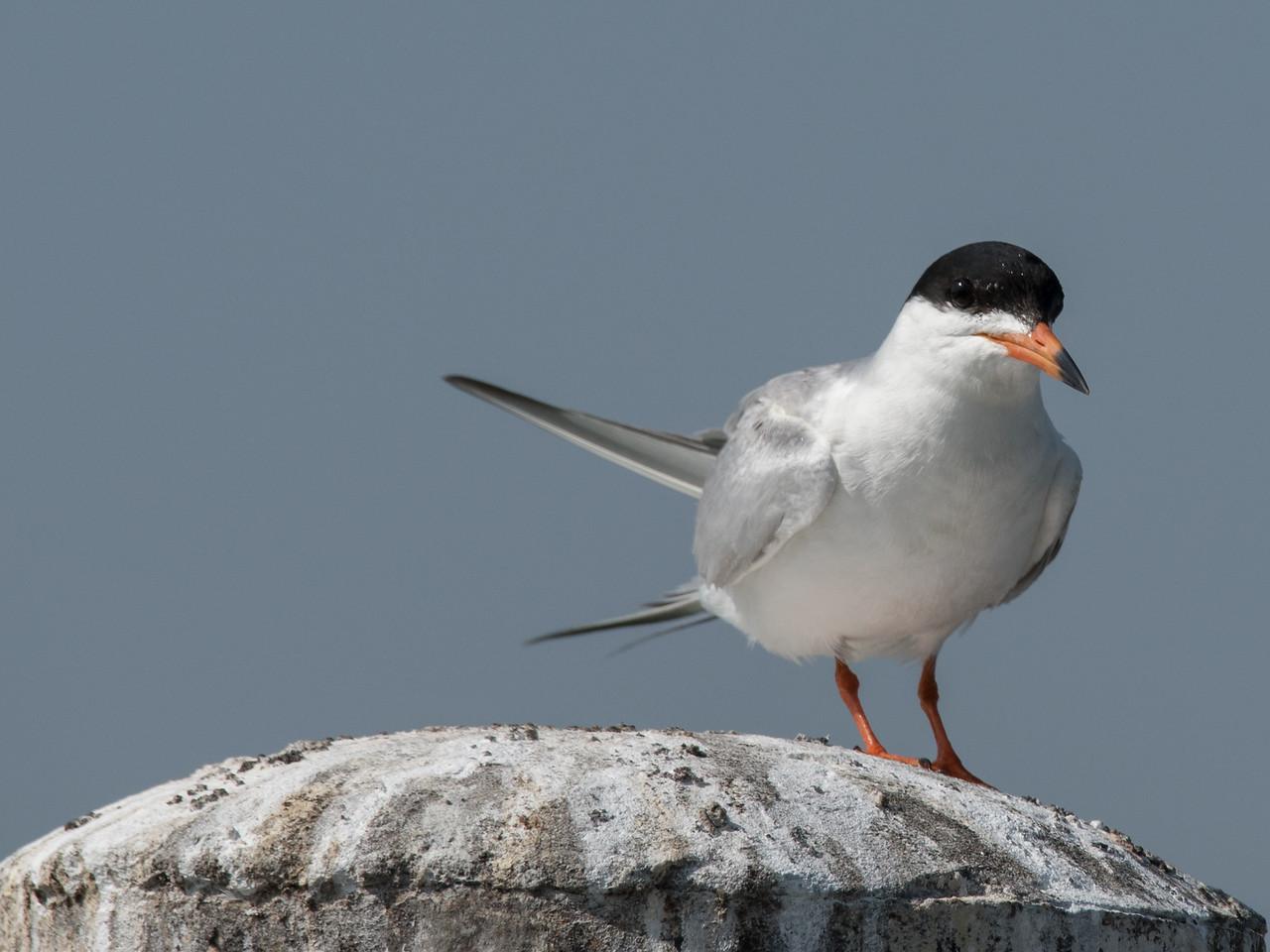 Forster's Tern perching on a dock piling