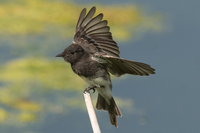 Black Phoebe landing on a stalk.