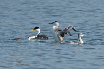 Western Grebe with three large chicks.