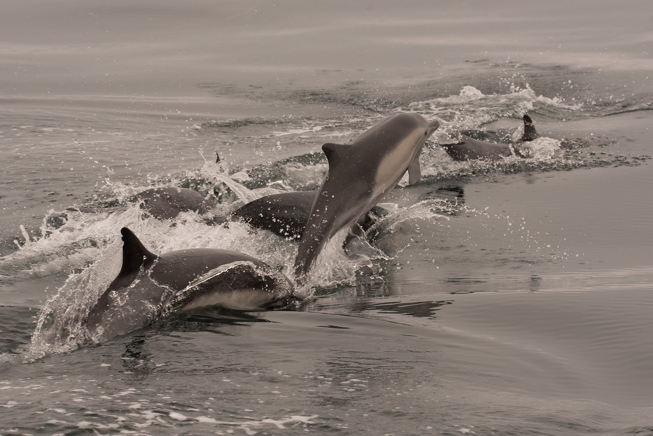 Long-beaked Common Dolphin jumping