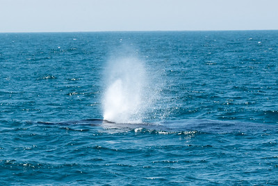 Humpback Whale blowing as it first surfaces
