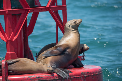 California Sea Lion relaxing on the buoy off Dana Point Headlands