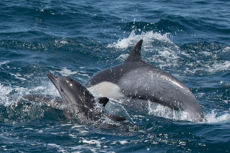 Mother and calf Long-beaked Common Dolphin swimming.