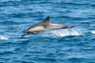 Long-beaked Common Dolphin jumping.