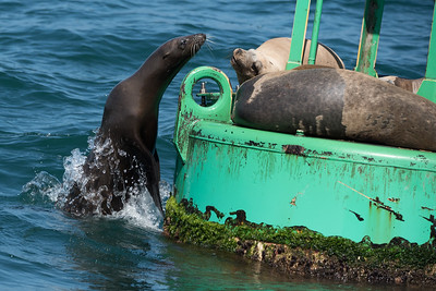 California Sea Lion attempting to jump onto a buoy.  It was driven back into the water by the incumbant sea lion
