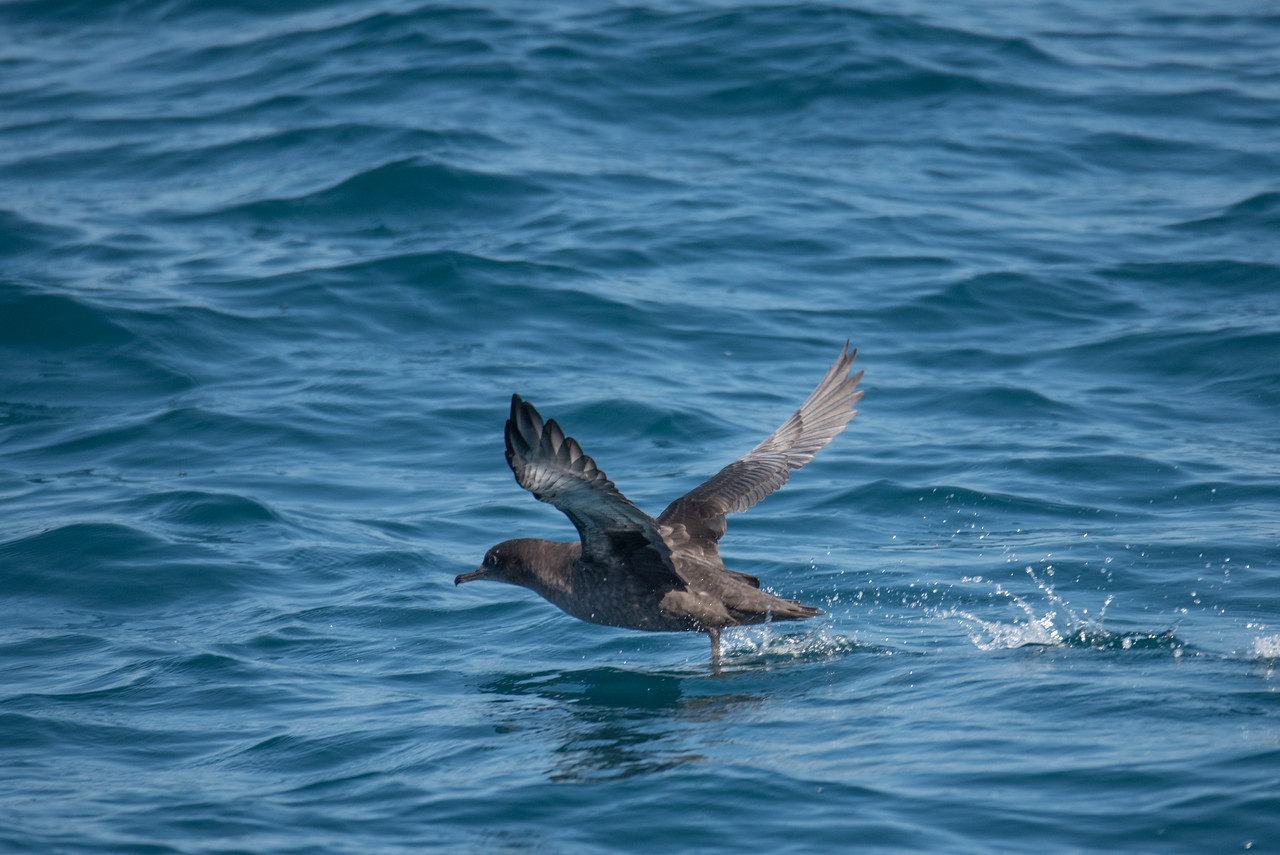 Sooty Shearwater taking off.