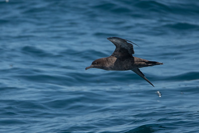 Sooty Shearwater flying after having just taken off
