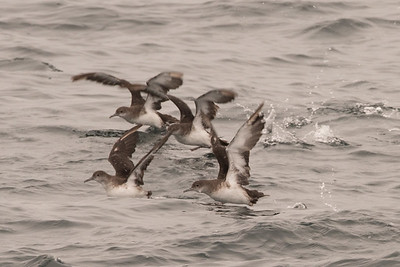Black-vented Shewaters taking off as the boat passes them.