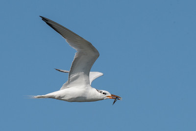 Elegant Tern carrying a fish back to the rookery.