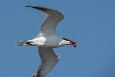 Caspian Tern carrying a fish.