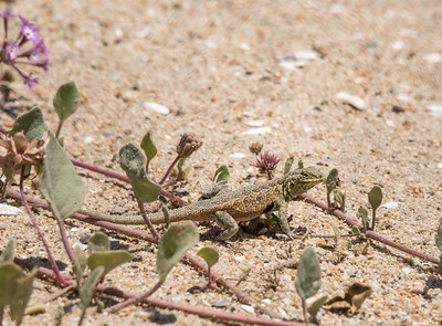 Side-blotched Lizard climbing through a Pink Sand Verbana bush