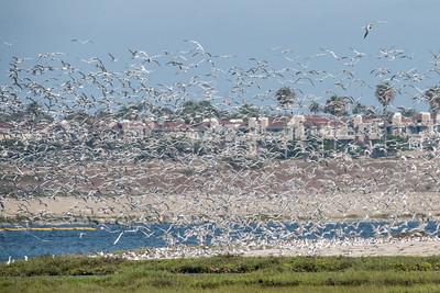 Elegant Terns put to flight over Tern Island by some disturbance.