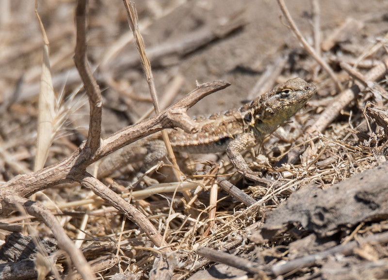 Side-blotched Lizard basking on the pocket pool embankment.