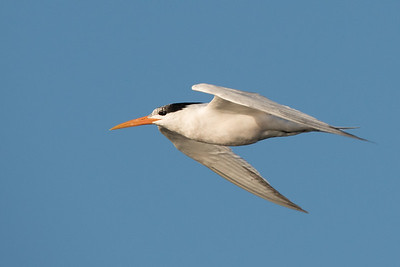 Elegant Tern in flight.