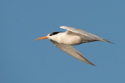 Elegant Tern in flight.