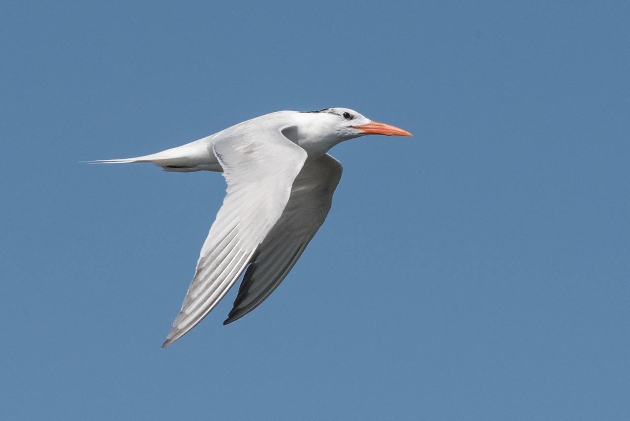 Elegant Tern in flight.  Though its still July this bird is already in winter (non-breeding) plumage.
