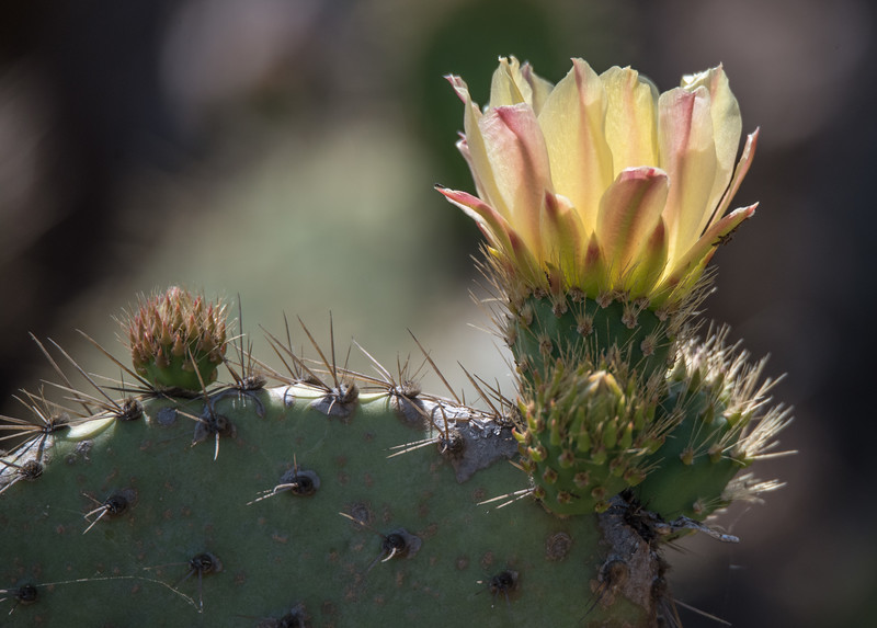 Coastal Prickly Pear flower on the pocket pool embankment.