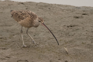 Long-billed Curlew with a razor clam that is has just pulled out of the mud.