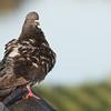 Rock Pigeon Preening on the railings of a foot bridge.