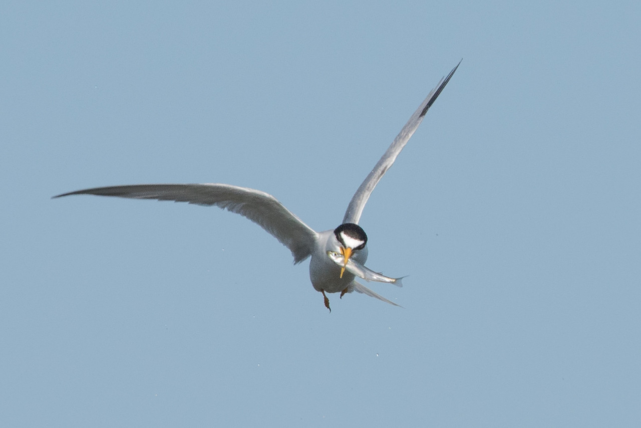 Least Tern with a fish it just caught in the wetlands.