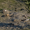Mexican Fiddler Crabs foraging on the mudflats.