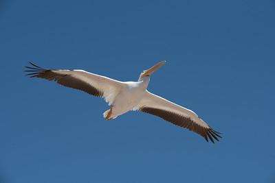 American White Pelican flying overhead