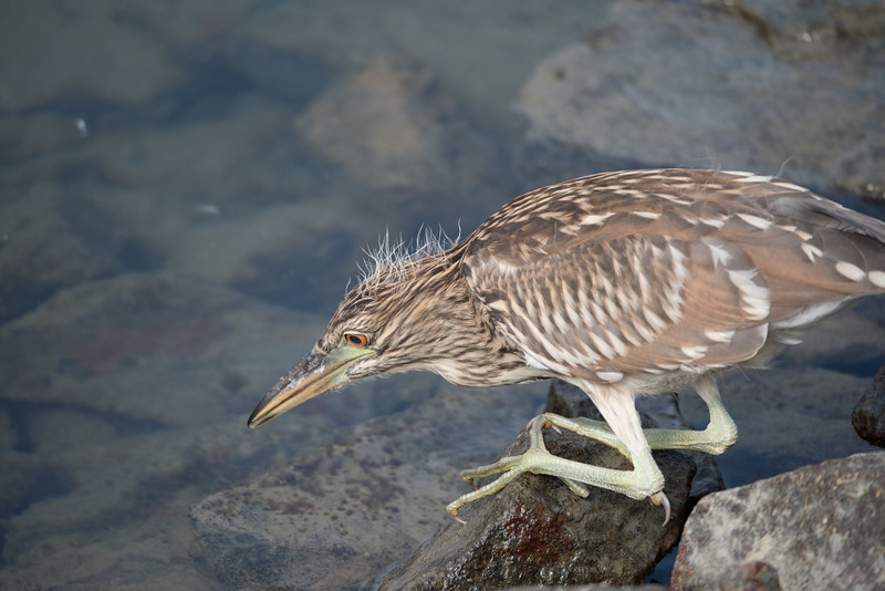 Fledgling Black-crowned Night-Heron trying  its hand a fishing