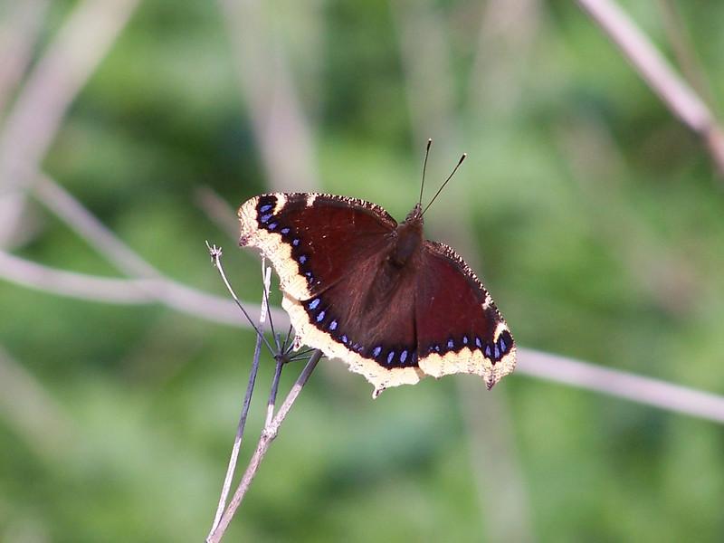 Mourning Cloak Butterfly perching on a dead stalk.