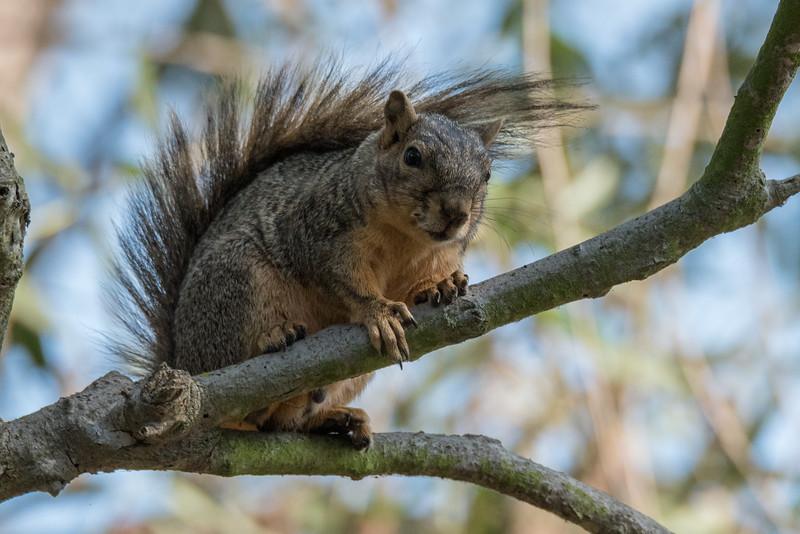 Fox Squirrel eyeing me suspiciously