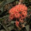 Eucalyptus tree flowers in August.