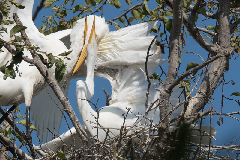 Great Egret feeding its chick