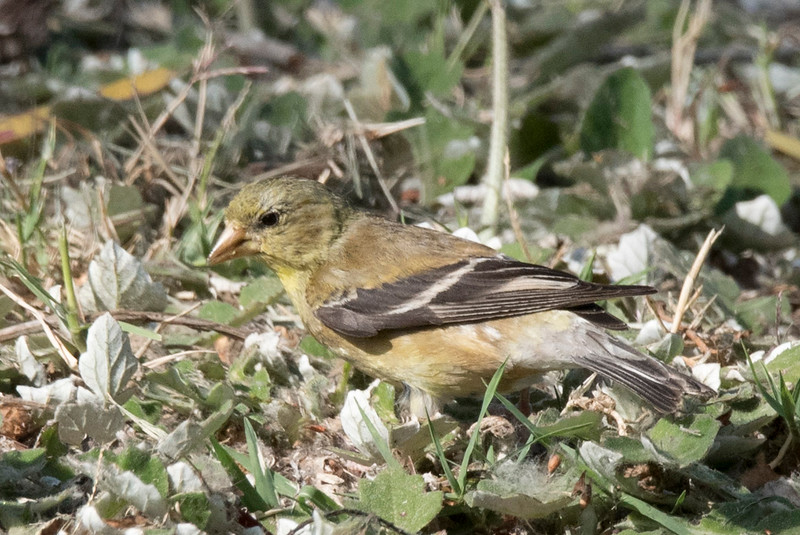 Female Lesser Goldfinch foraging on the lawn.