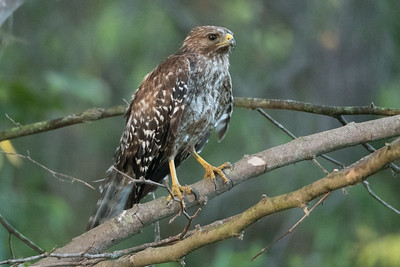 Juvenile Red-shouldered Hawk Perching on a branch.