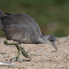 Immature American Coot foraging by Lake Huntington.