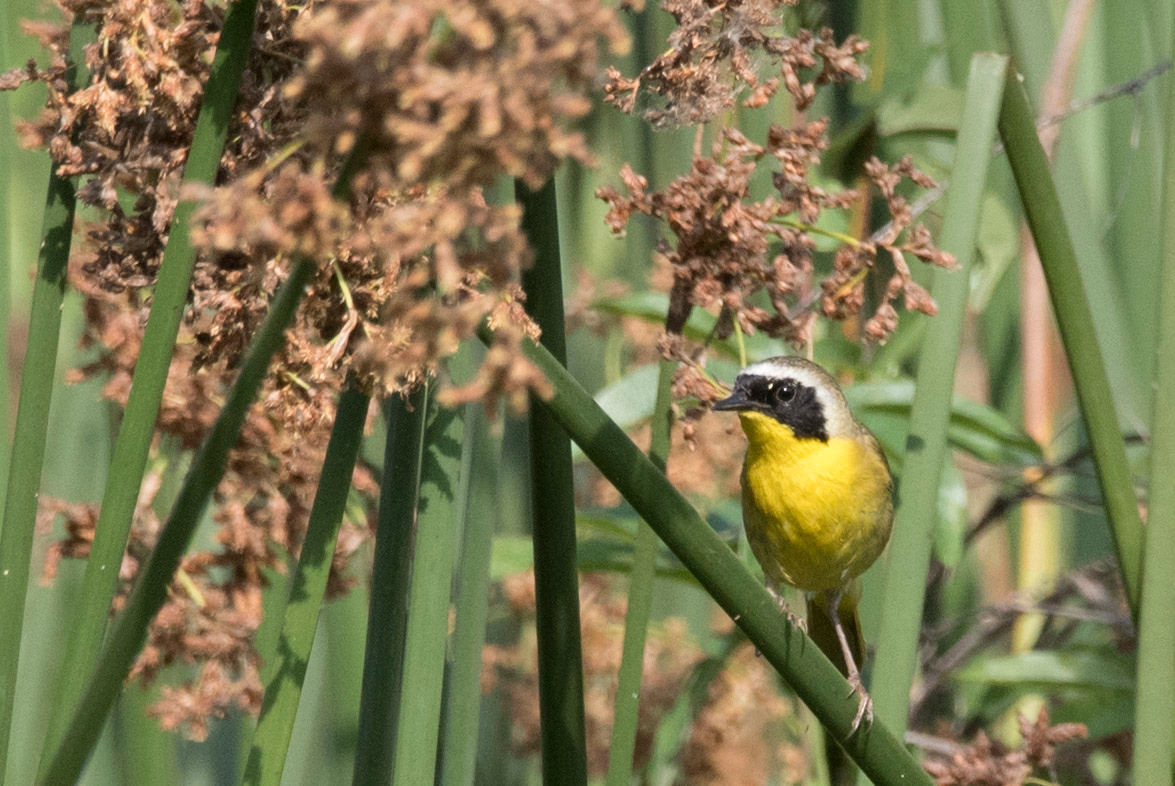 Male Common Yellowthroat perching in the California Bulrushes on the edges of Talbert Lake