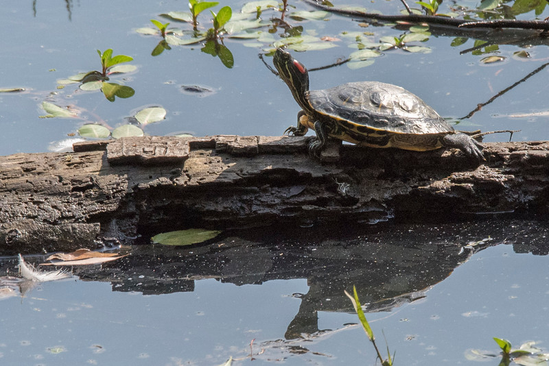 Small Red-eared Slider basking on a floating log.