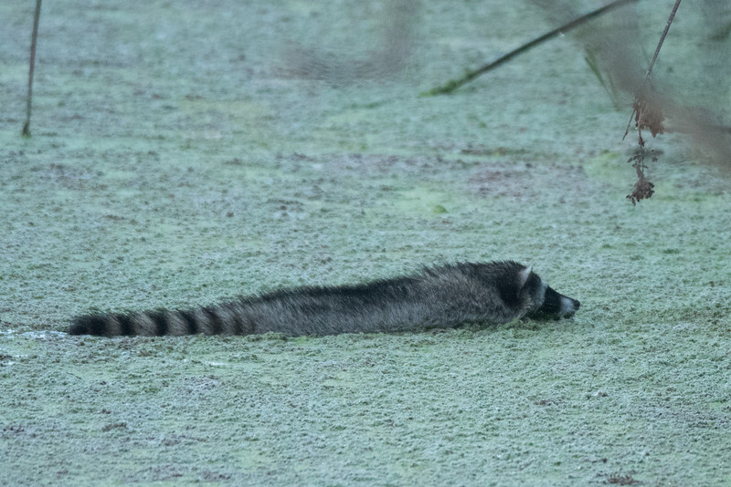 Racoon swimmng across one of the Talbert Lake inlets.