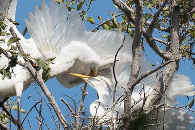 Great Egret feeding it's chick.