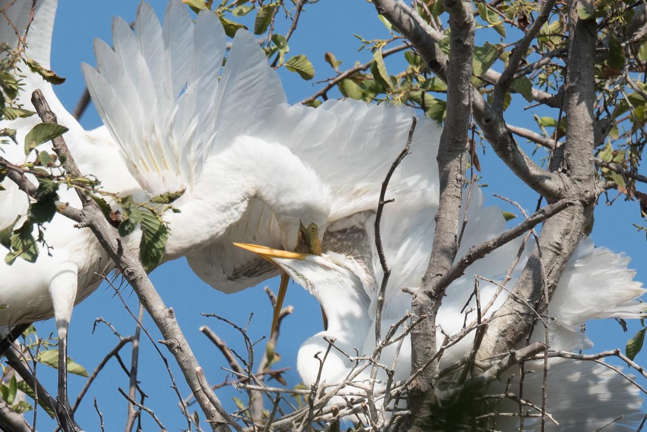 Great Egret feeding it's chick.