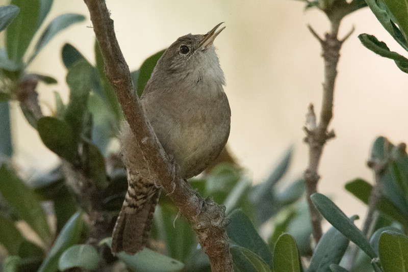 House Wren sqawking from a low branch.