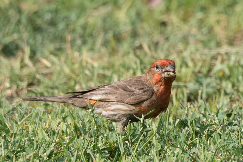 A male House Finch foraging on the lawn.