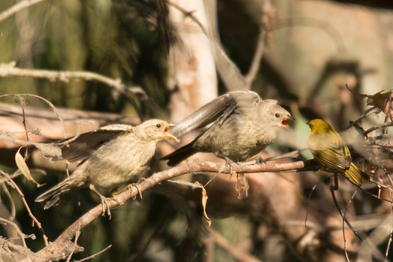 Yellow Warbler feeding a pair of Brown-headed Cowbird Chicks
