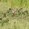 A flock of Scaly-breasted munia foraging for grass seeds in the drying bed of Talbert Lake