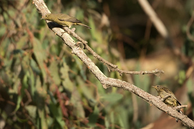 Orange-crowned Warbler with a fledged chick perching in an Eucalyptus Tree