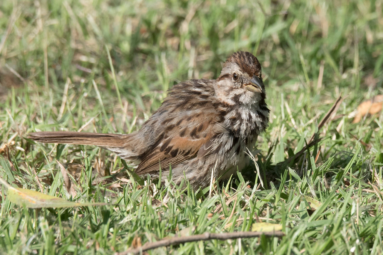 Damp Song Sparrow fluffing its feathers to dry.