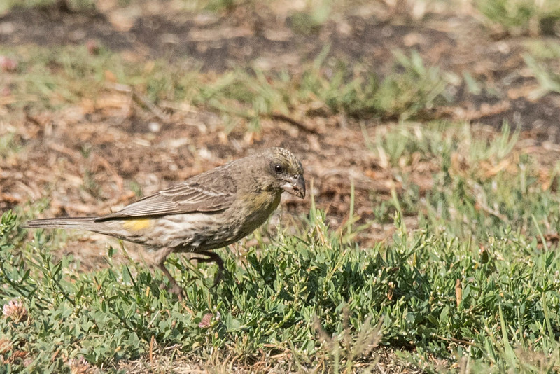 A female House Finch(?) foraging on the lawn.