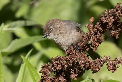 Female Bushtit foraging amongst low bushes.